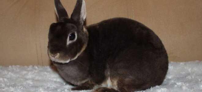 Кролик карликовый Рекс