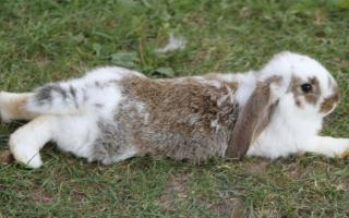 У кролика отказали задние лапы