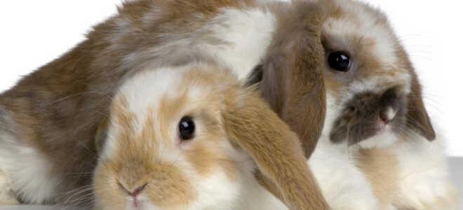 Мокрец у кроликов