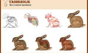 Анатомия и физиология кролика