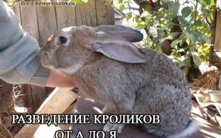 Разведение кроликов от А до Я