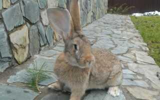 Кролик фландр, всё что нужно знать о породе