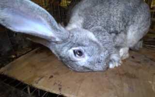 Пастереллез у кроликов