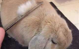 Когда линяют кролики
