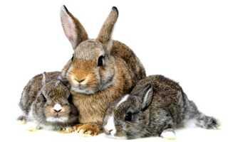 Сколько длится беременность у кроликов
