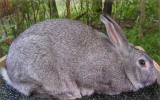 Советская шиншилла кролик