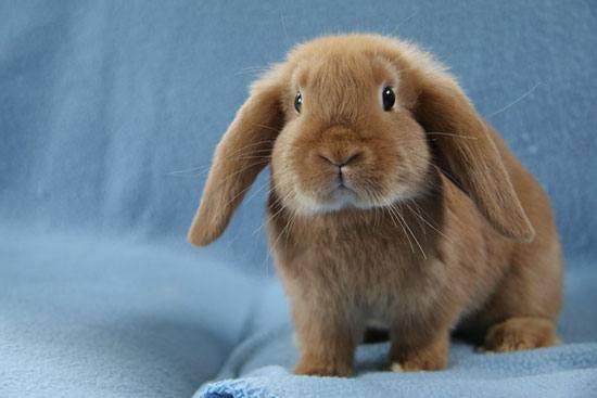 Декоративный кролик вислоухий баран