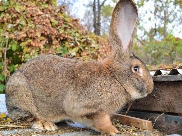 Кролик породы фландер