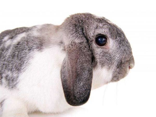 Кролик вислоухий баран