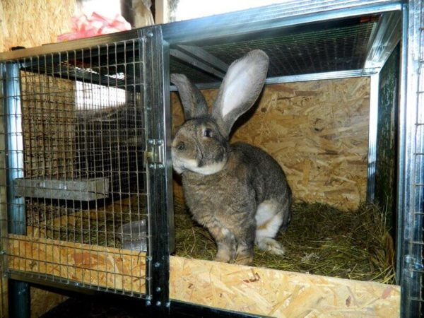 Кролик фландер в клетке