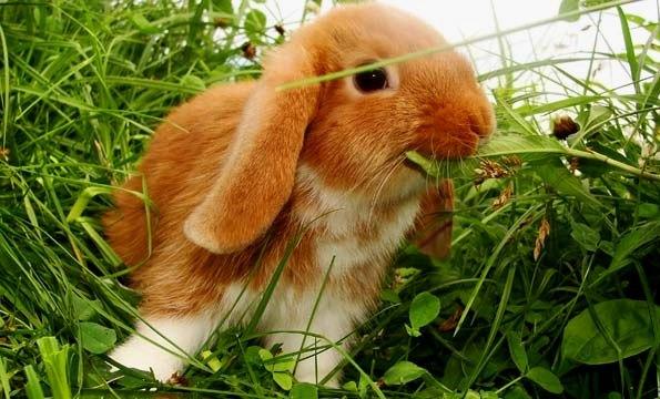 Карликовый кролик ест