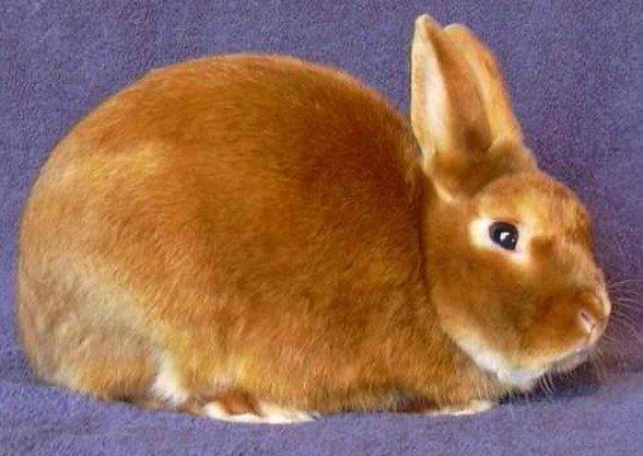 Мини сатиновый кролик