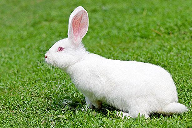 Флоридский белый кролик