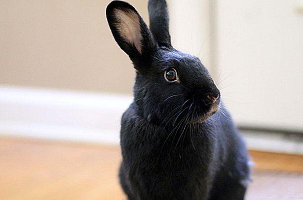 Гаванский кролик