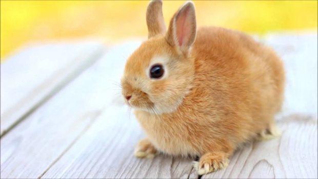 Кролик минор