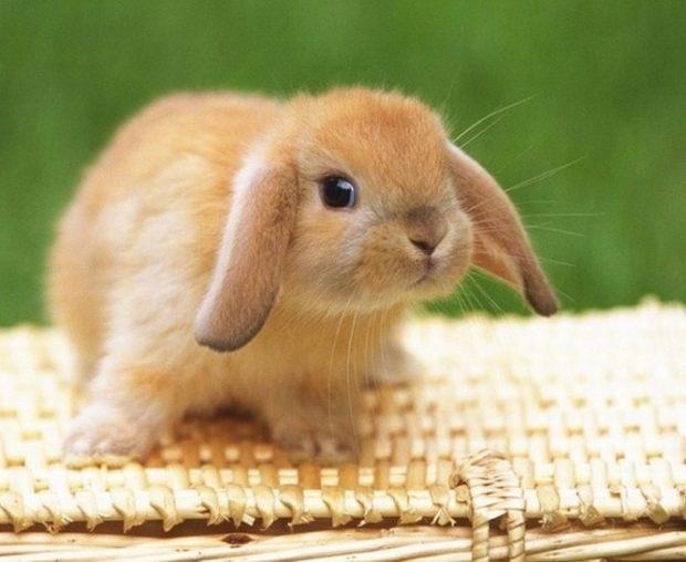 Кролик минилоп