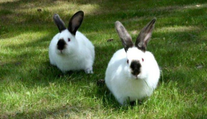 Кролик калифорнийской породы