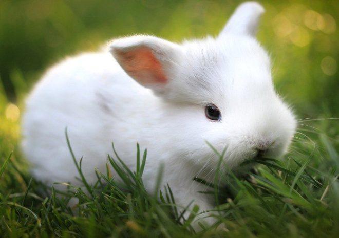 Лисий карликовый кролик белого окраса