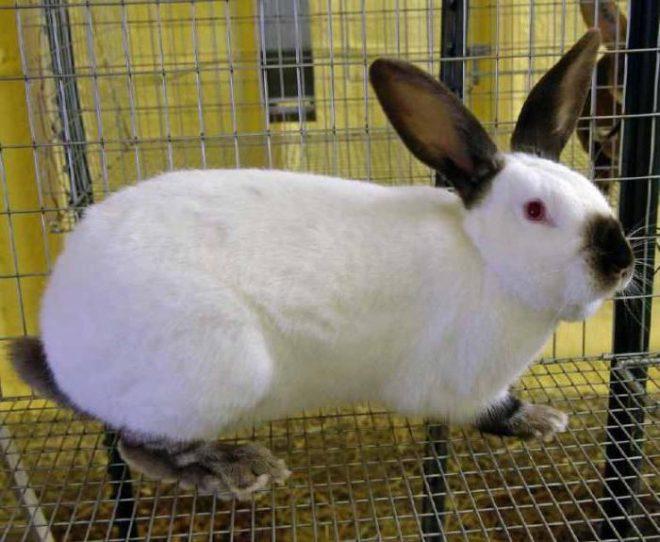 Калифорнийский кролик в вольере