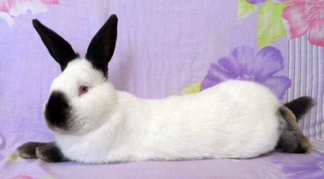 Калифорнийский кролик дома