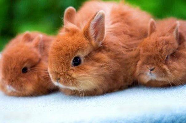 Внешний вид лисего карликового кролика