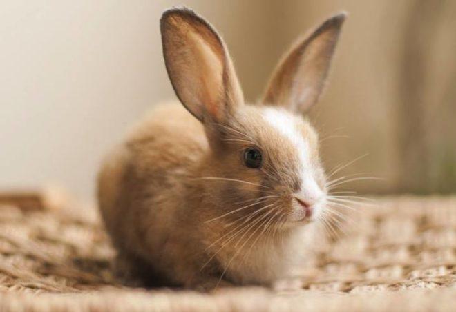 Домашний питомец кролик