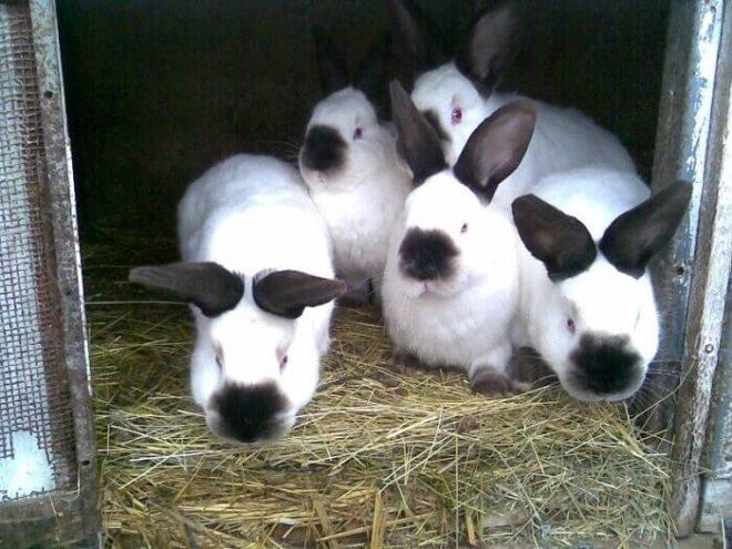 Калифорнийские кролики в клетке