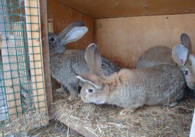 Крольчата велаканы
