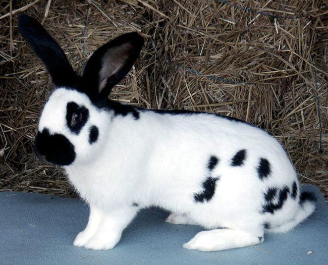 Необычная порода кроликов