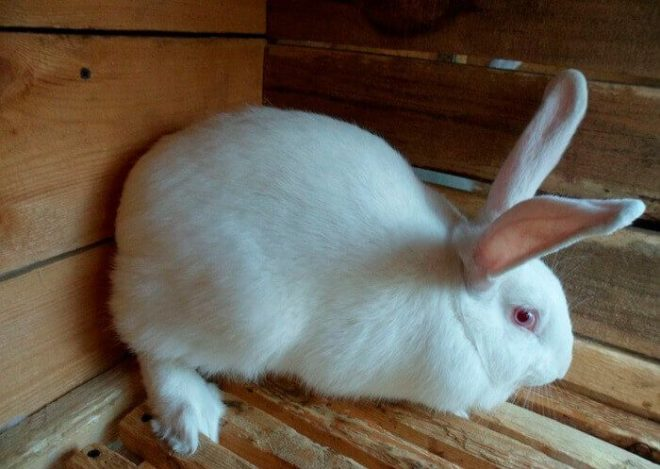 Белый крол