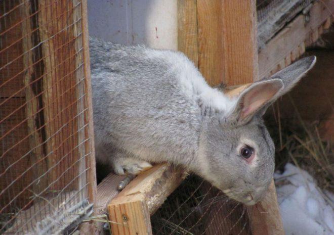 Кроль в клетке