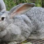 Серый кролик породы великан