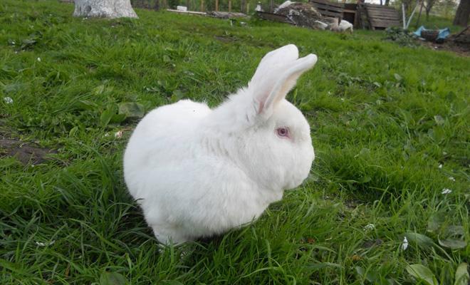 Новозеландский Белый крол