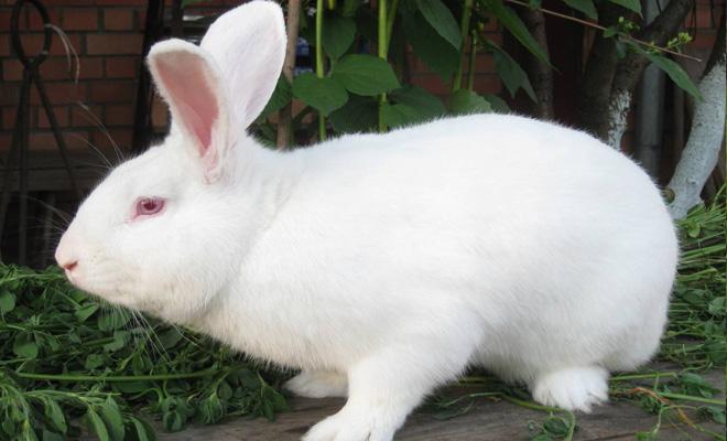 Кролик породы Паннон