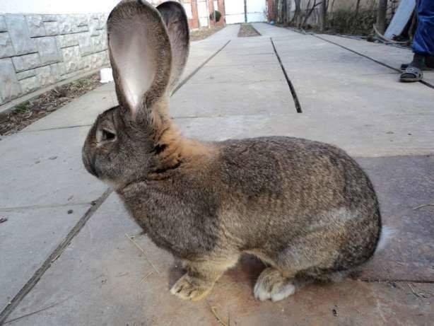 Бельгийский кролик