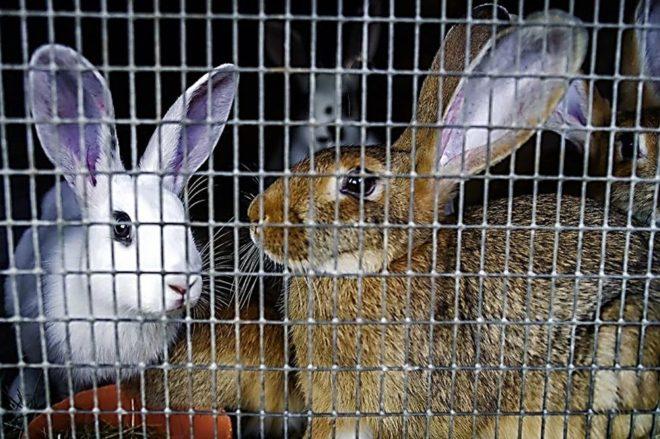 Особенности содержания кроликов