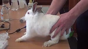 Крольчиха носит сено в зубах почему
