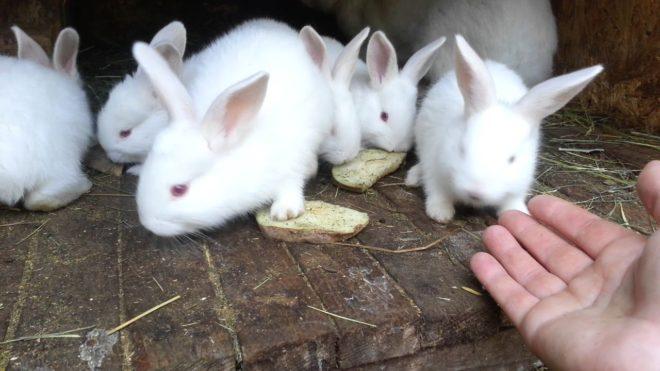 Месячные кролики