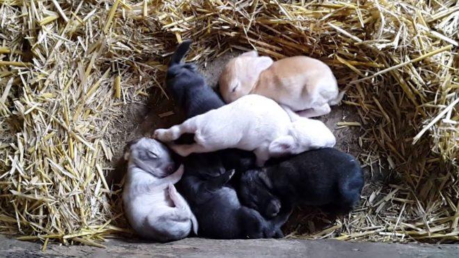 Сытые новорожденные крольчата