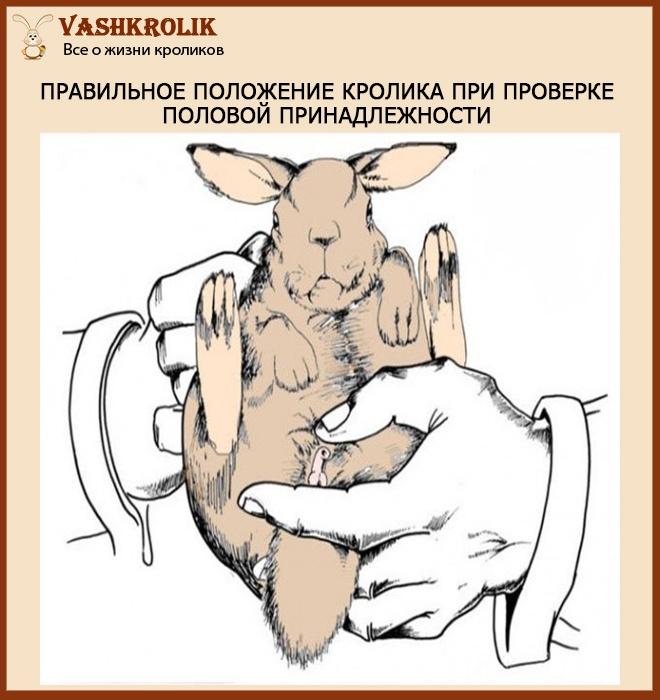 Определяем пол кролика
