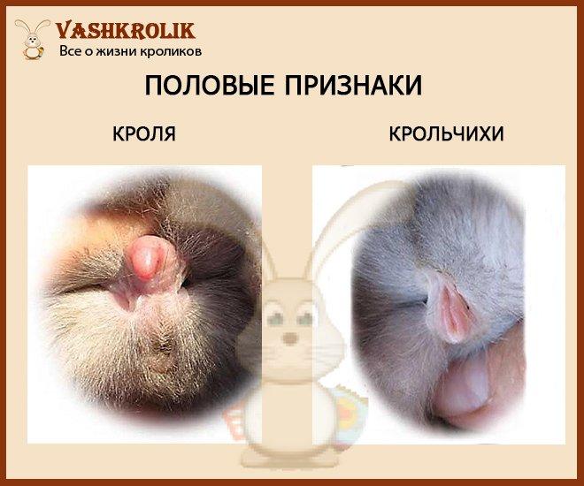 Как отличить кроля от крольчихи