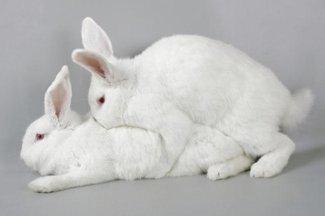 Как осуществляется спаривание кроликов
