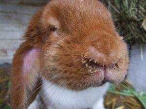Насморк у кроликов