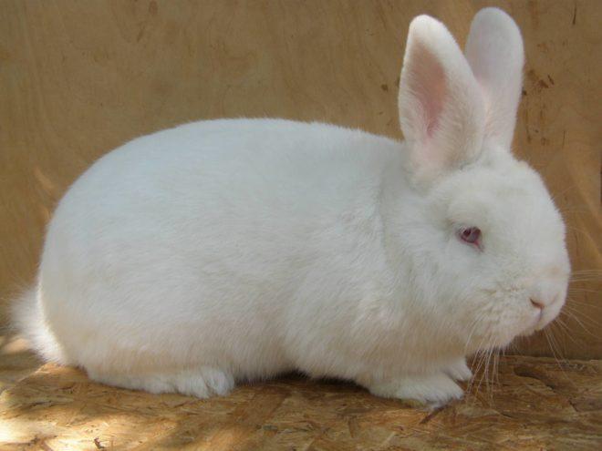 Кролик белой окраски
