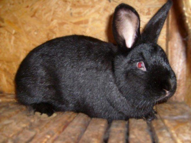 Черный крол