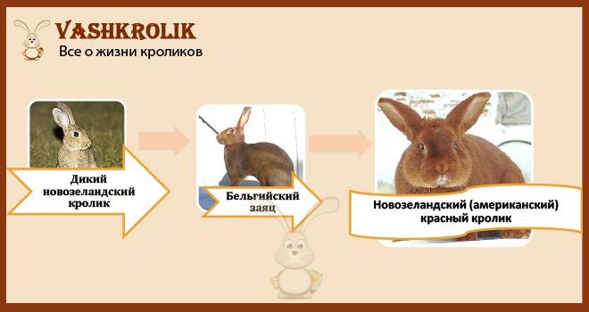 Скрещивание кроликов