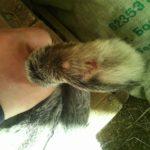 Заболевание лап у кроликов