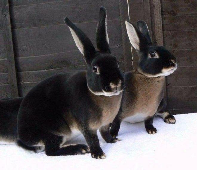 Черные кролики
