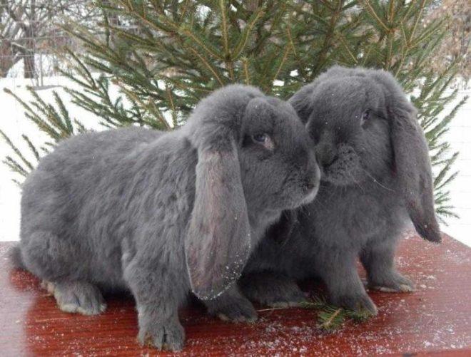 Кролики барашки