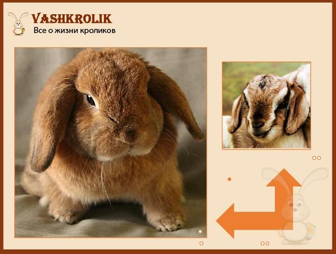 Сравнение кролика барана и барана